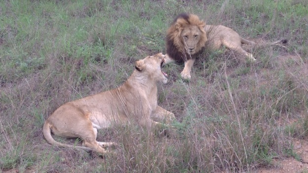 lions, male and female lion together, lions about to mate, africa, south africa, large cats